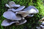 Almindelig stershat (Pleurotus ostreatus)